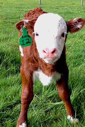 our miniature cattle calves