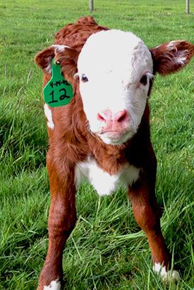 our miniature cattle calves