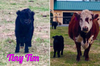 Tiny Tim - Murray Creek Miniatures Miniature Cattle